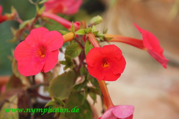 Achimenes `Orange Delight`- Schiefteller