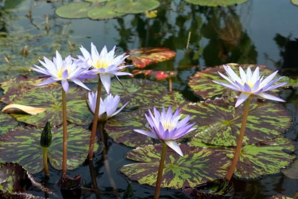 Nymphaea `Star of Siam` - Tropische Seerose