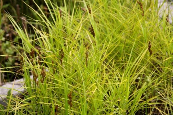 Carex muskingumensis [Schwein.] - Palmwedelsegge