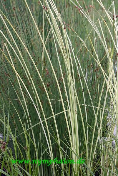 Schoenoplectus lacustris ssp tabernaemontani `Albescens` - Gestreifte Binse