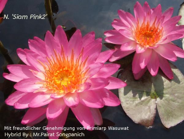 Nymphaea `Siam Pink 2` - Winterharte Intersubgenerische Seerose