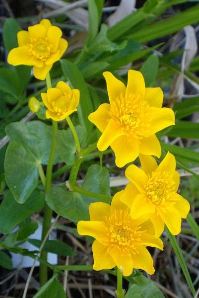 Caltha palustris 'Semiplena' - Sumpfdotterblume
