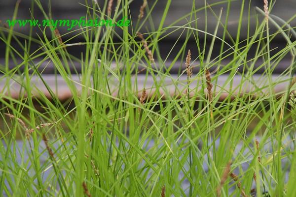 Carex appropinquata [Schumach.] - Wundersegge