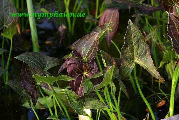 Sagittaria australis `Benni` - Südliches Pfeilkraut