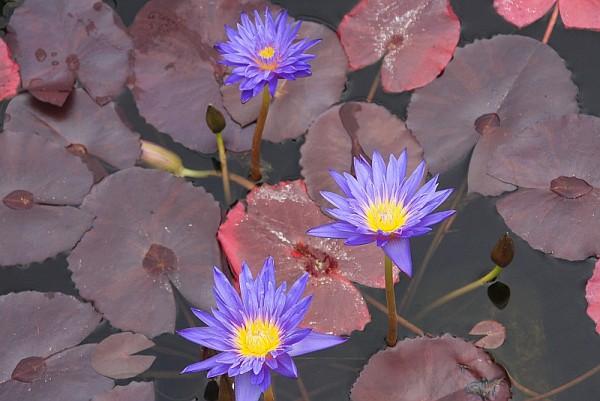 Nymphaea `Ultra Violet` - Tropische Seerose