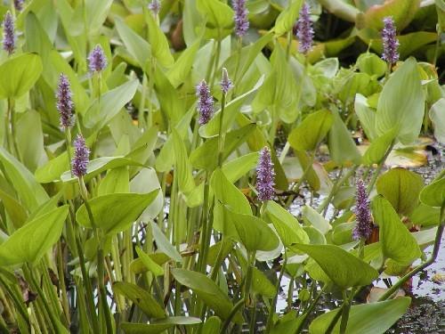 Pontederia cordata [L.] - Hechtkraut