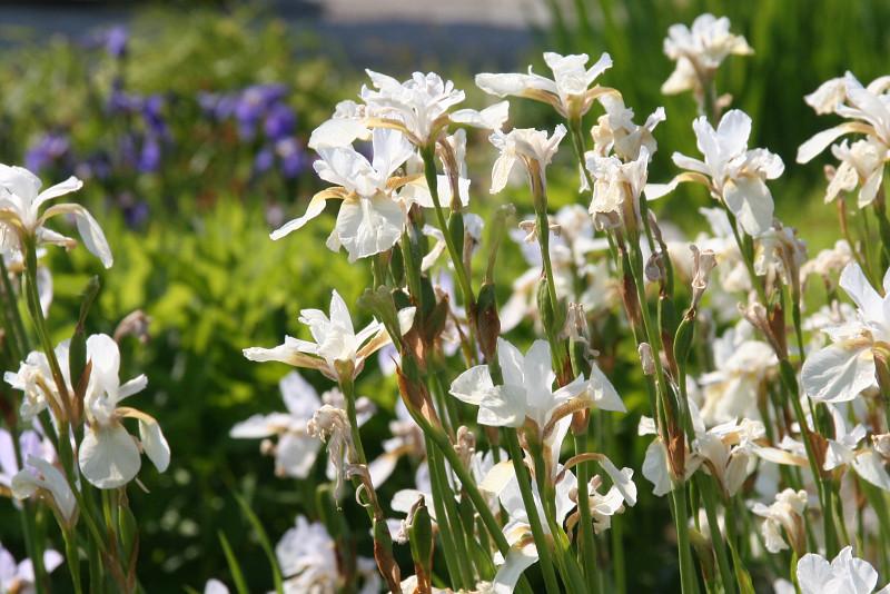Iris-sanguines-Kategorienbild