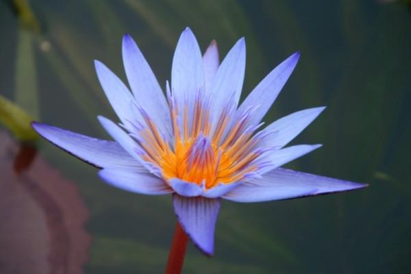 Nymphaea `Blue Beauty` - Tropische Seerose