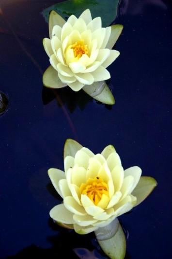 Nymphaea `Gold Medal` - Winterharte Seerose