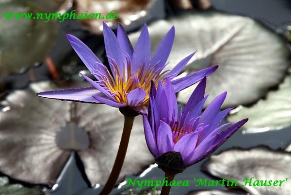 Nymphaea `Martin Hauser` - Tropische Seerose