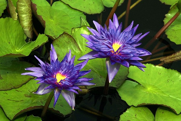 Nymphaea `King of Siam` - Tropische Seerosenknolle