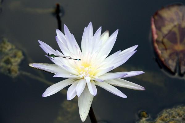 Nymphaea `Avalanche` - Tropische Seerose