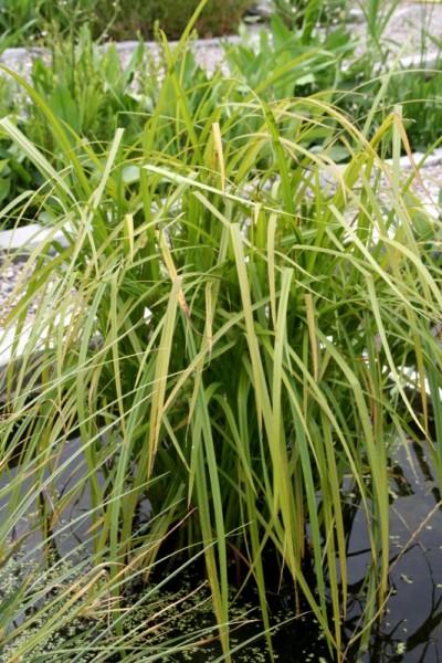 Carex hystericina [Muhl. ex Willd.] - Stachelschweinsegge