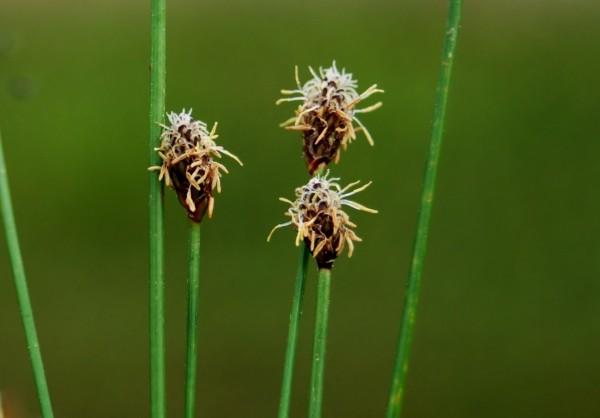 Eleocharis elliptica [Kunth.] - Ovale Binse