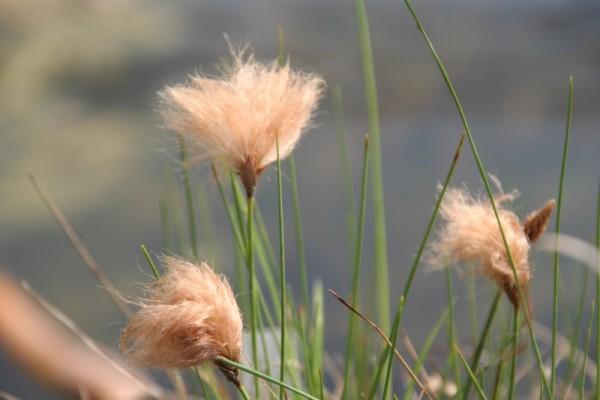Eriophorum russeolum [Fr. ex Hartm.] - Russels Wollgras