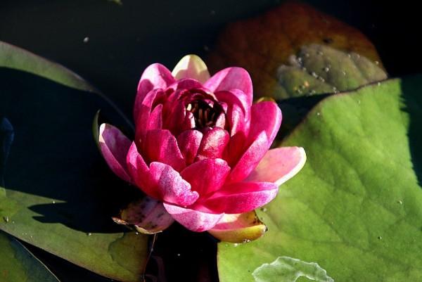 Nymphaea `Almost Black` - winterharte Seerose