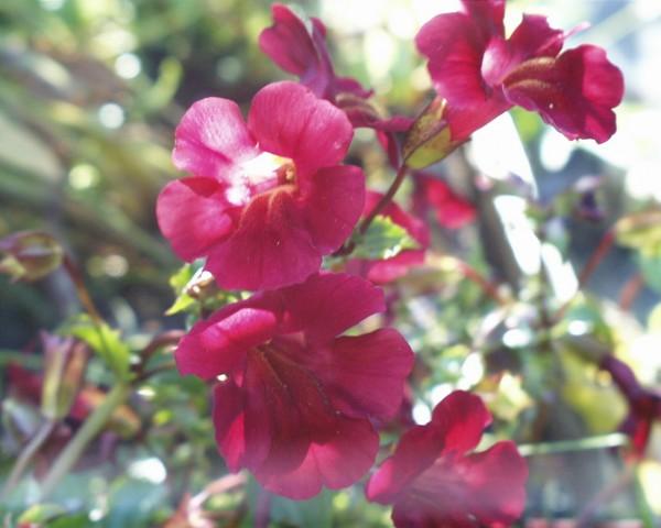 Mimulus cupreus `Roter Kaiser` - Kupferrote Gauklerblume