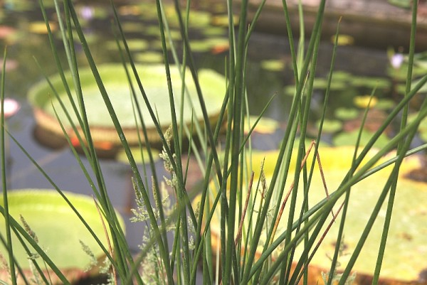Baumea articulata [(R.Br.) S.T.Blake] - Australische Binse