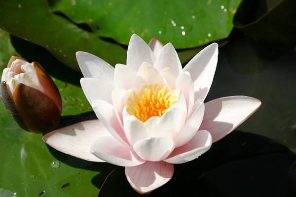 Nymphaea `Rose Magnolia` - Winterharte Seerose