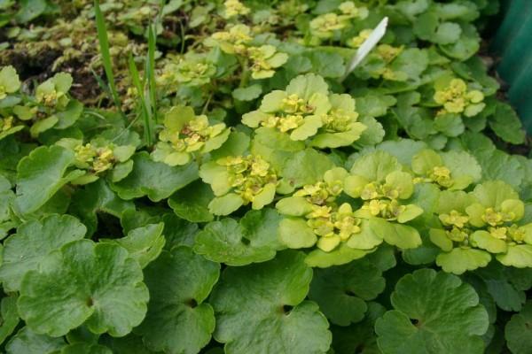 Chrysosplenium alternifolium [L.] - Gold-Milzkraut