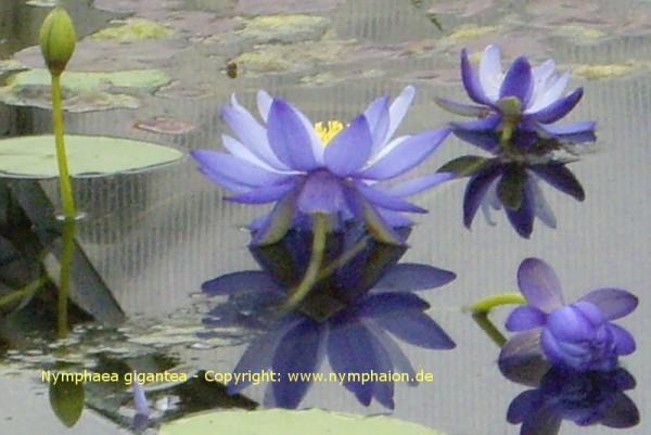 Nymphaea gigantea [Hooker] - Riesenseerose