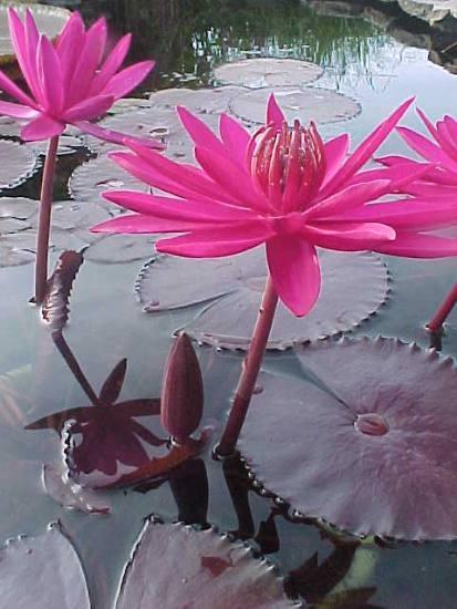 Nymphaea `Red Cup` - Tropische Seerose