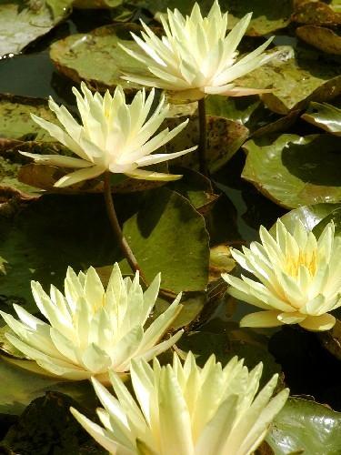 Nymphaea `Texas Dawn` - Winterharte Seerose