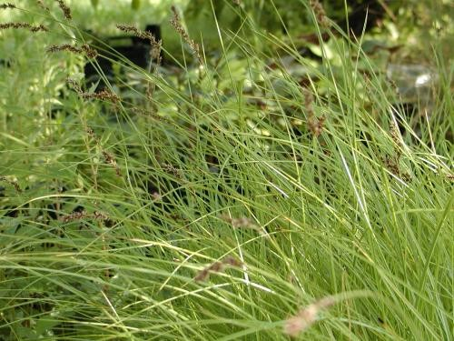 Carex acutiformis [Ehrh.] - Sumpfsegge