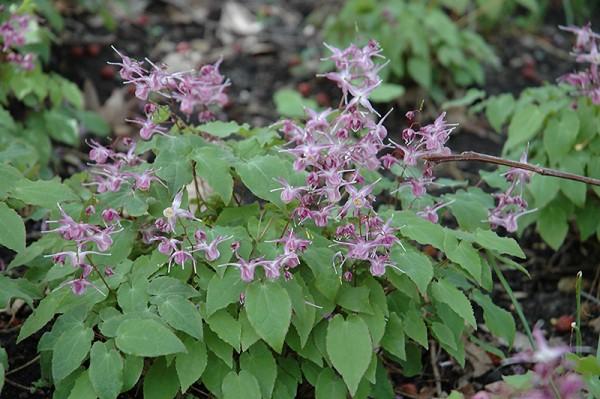 Epimedium grandiflorum 'Lilafee' - Elfenblume