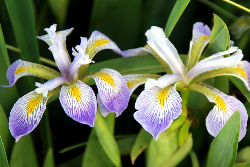 Iris-virginica