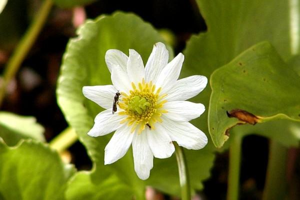 Caltha leptosepala [DC.] - Westamerikanische Dotterblume