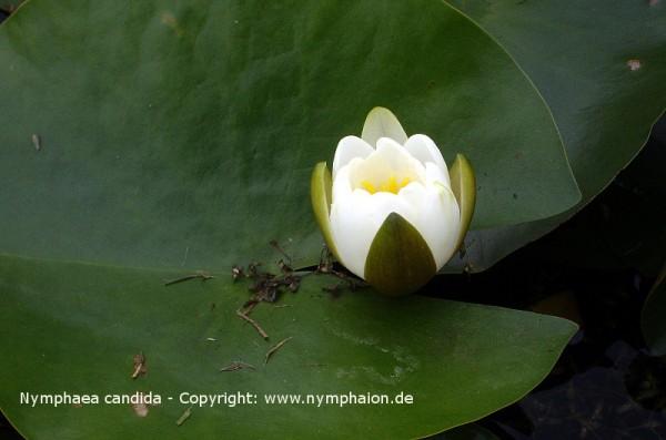 Nymphaea candida [C.Presl.] - Glänzende Seerose