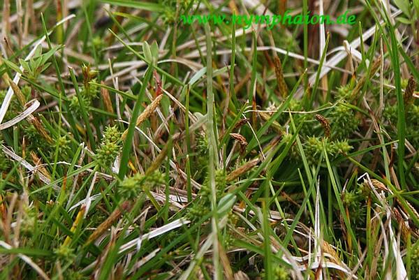 Carex norvegica [Retz.] - Norweger Segge