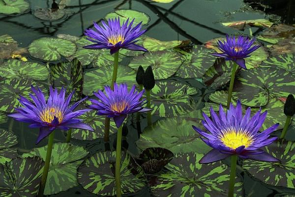 Nymphaea `Blue Aster` - Tropische Seerose
