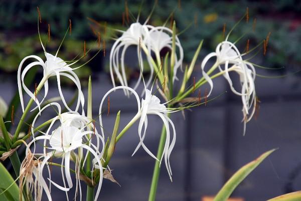 Hymenocallis caribaea `Variegata` - Karibik-Schönhäutchen