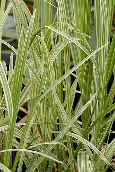 Glyceria maxima `Variegata` - Bunter Wasserschwaden