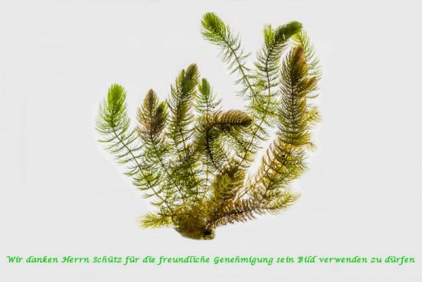 Ceratophyllum demersum [L.] - Hornblatt