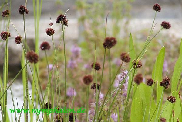 Juncus articulatus [L.] - Gliederbinse
