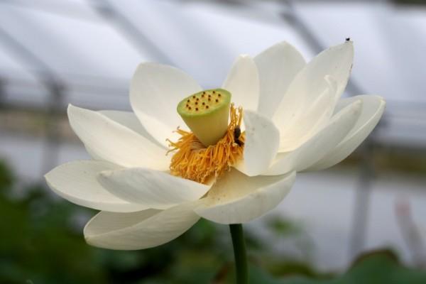Nelumbo `Alba Grandiflora' - Lotosblume