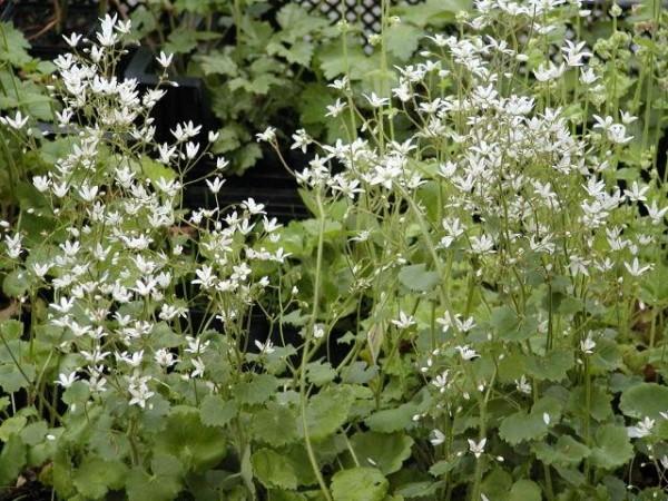 Saxifraga rotundifolia [L.] - Rundblättriger Steinbrech