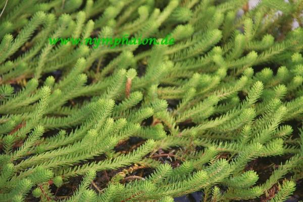Myriophyllum hippuroides [Torr. & A. Gray] - Westliches Tausendblatt