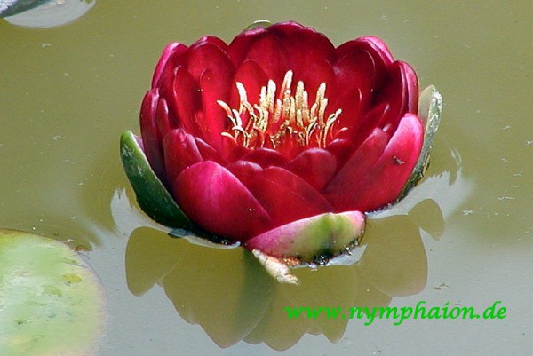 Nymphaea `Perry`s Deepest Red` - Winterharte Seerose