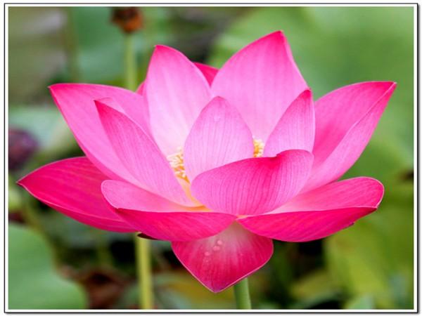 Nelumbo `East Lake Pink` - Lotosblume