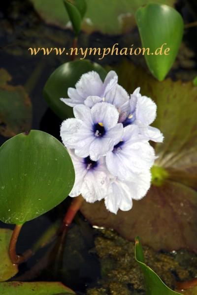 Eichhornia azurea [(Swartz) Kunth] - Himmelblaue Wasserhyazinthe