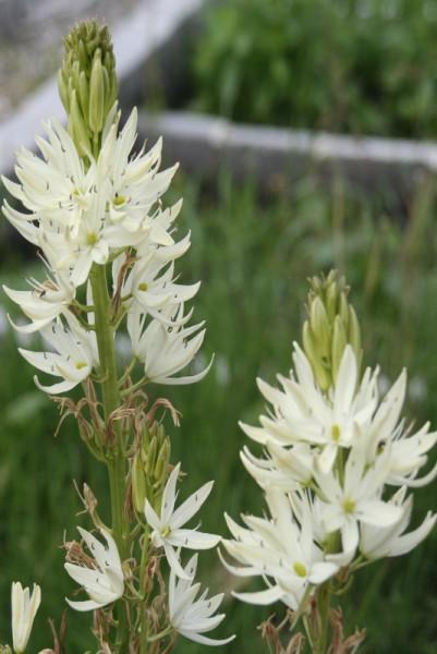 Camassia leichtlinii `Alba` - Prärielilie