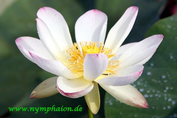 Nelumbo `Die schöne Lau` - Lotosblume