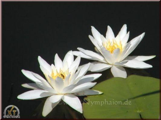 Nymphaea `Hermine` - Winterharte Seerose