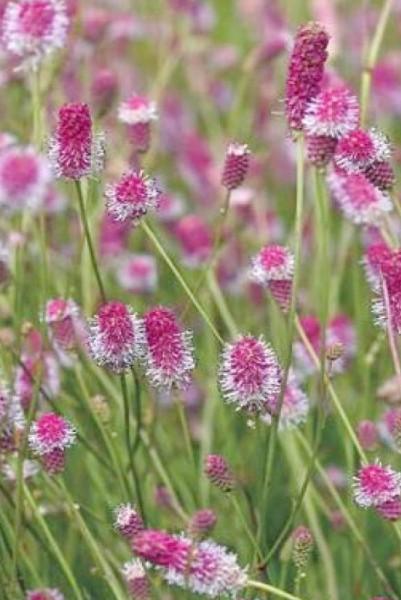 Sanguisorba officinalis 'Pink Tanna' - Großer Wiesenknopf