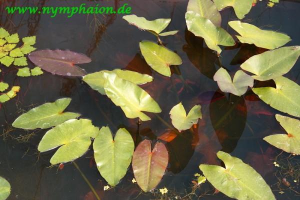 Nuphar japonica 'Rubrotincta' - Japanische Teichrose