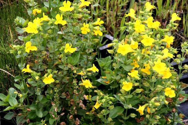 Mimulus luteus [L.] - Gelbe Gauklerblume